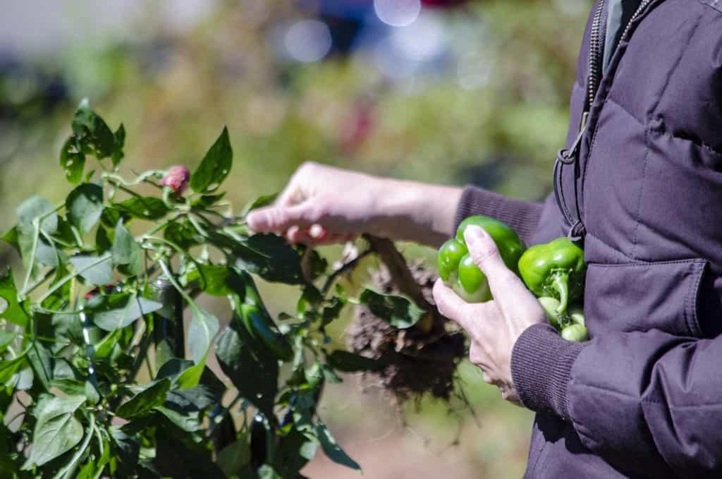 Farmer picking Bell Peppers